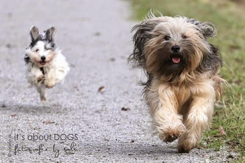 Tibet Terrier Chiru und Biewer Yorkshire Terrier Lotta beim Rennen am Kanal