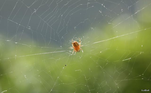 Araignée épeire à dessin feuille de chêne