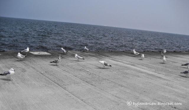 наглые чайки