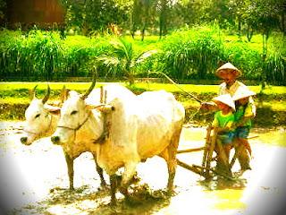 Membajak sawah dengan cara tradisional