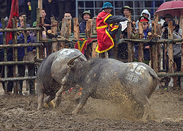 Buffalo Fighting Festival in Hai Luu, Vinh Phuc province 1