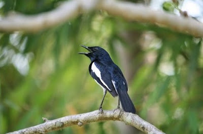 Mengetahui Tempat Sarang Burung Kacer Di Habitat Aslinya Paling Akurat