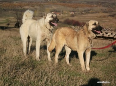 excitement n net gigantic dogs kangal dog. Black Bedroom Furniture Sets. Home Design Ideas