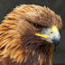 Nice Golden Eagle Beat Images & Wallpapers