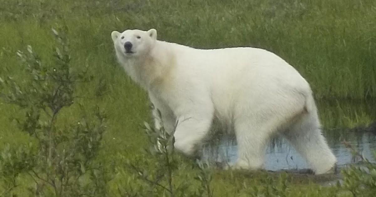 70abe54b50 Life in the Polar Bear Capital of the World | WHIMSY CITY