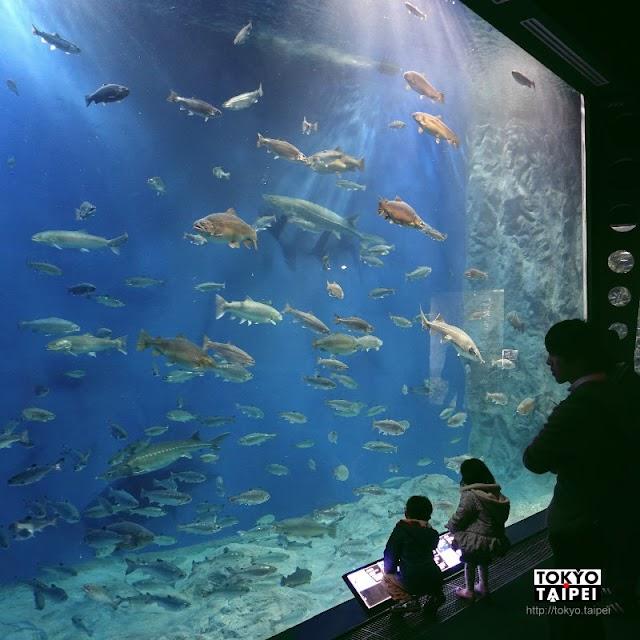 【千歲水族館】鮭魚的故鄉 整條河都是我的水族館