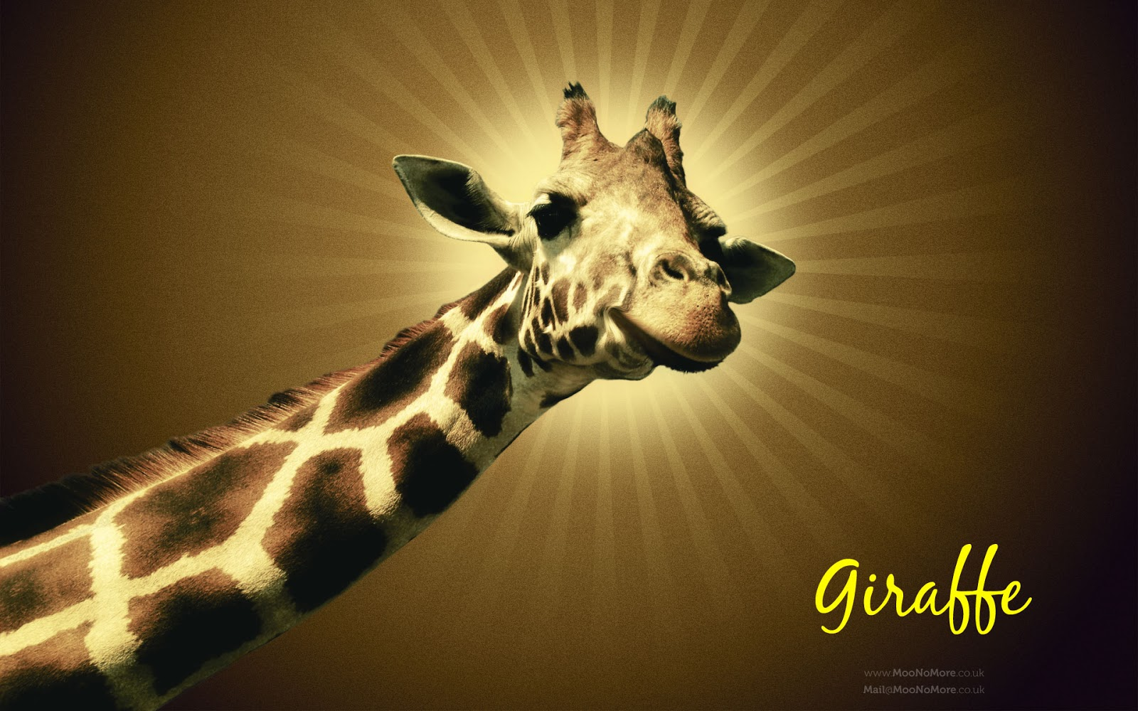 giraffe wallpapers hd pictures - photo #11