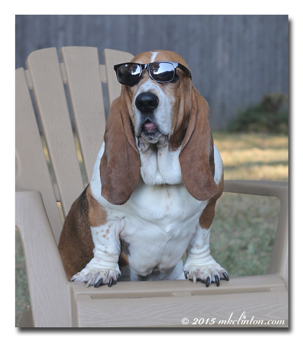 Basset Hound in Adirondack chair wearing sunglasses