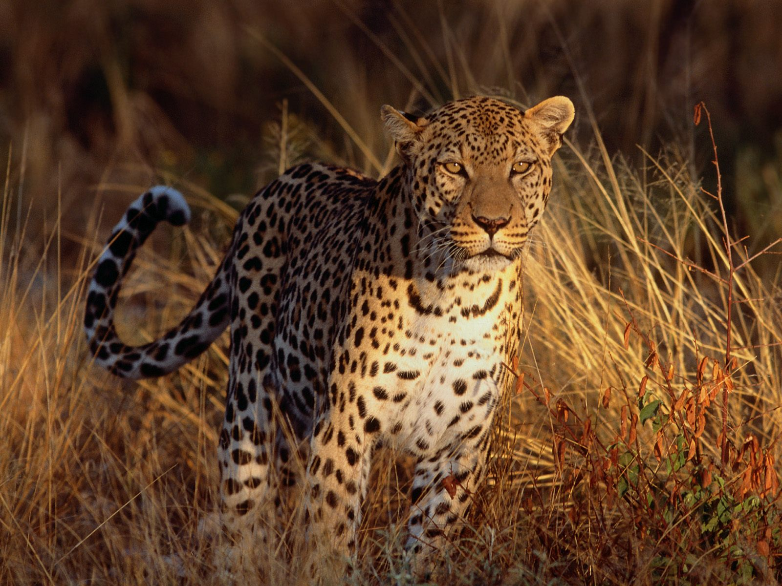 Leopard hd wallpapers | Movies Songs Lyrics