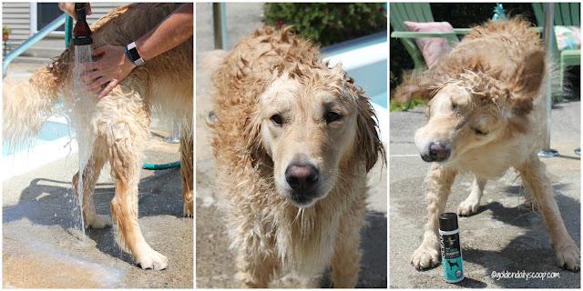 golden retriever shaking water off after bath