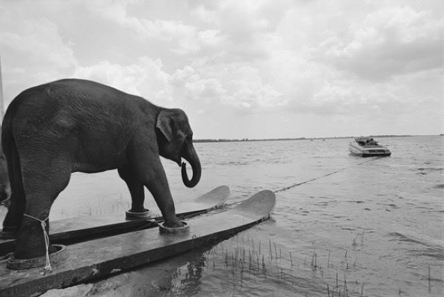 A funny photo of an elephant water skiing.