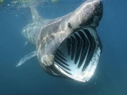 O tubarão boca grande é uma espécie de tubarão extremamente rara