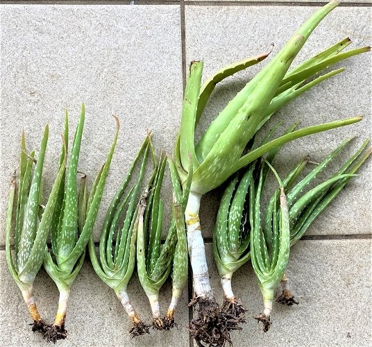 Aloe Vera Homegrown Plants for Sale $10.00
