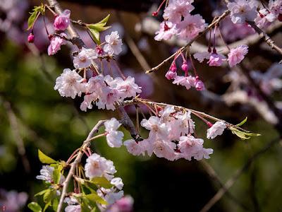 Shidare-zakura (weeping cherry) blossoms: Kencho-ji