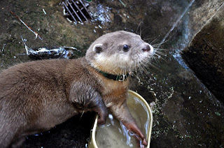 Cara Memelihara Otter