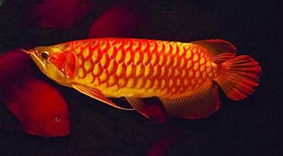 Arwana Ultra Red Jenis Ikan Hias Yang Menjadi Favorit Luar Negri