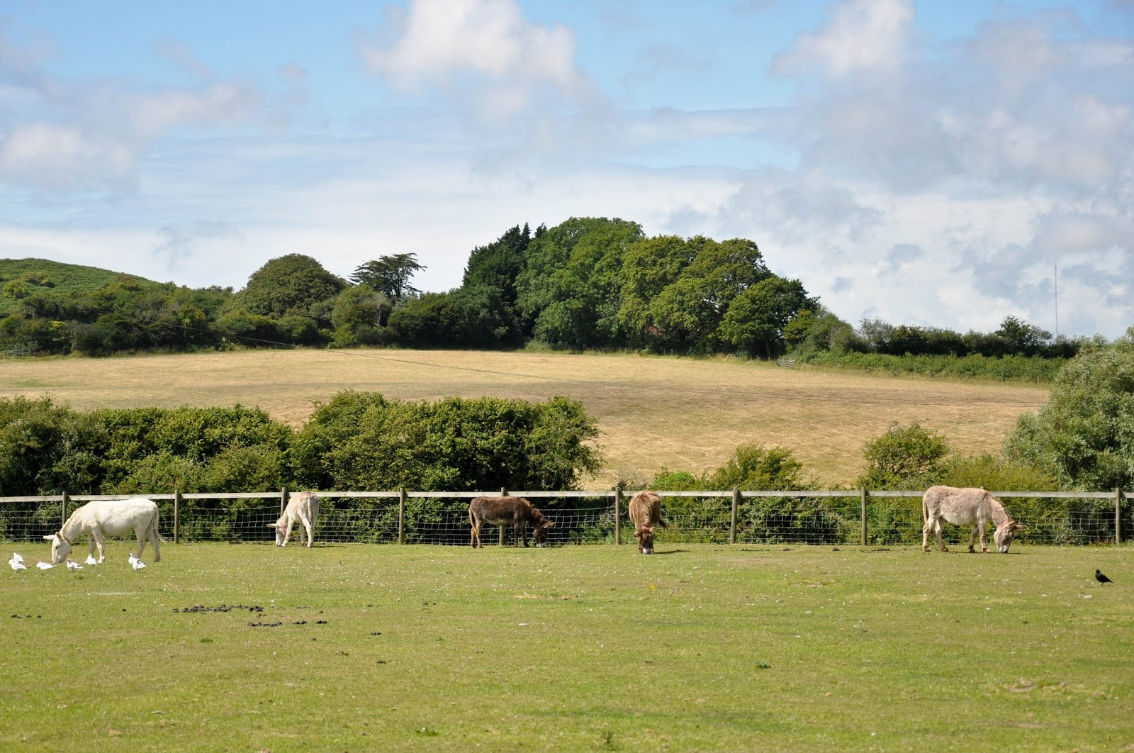 Grazing donkeys, The Donkey Sanctuary, Isle of Wight, UK
