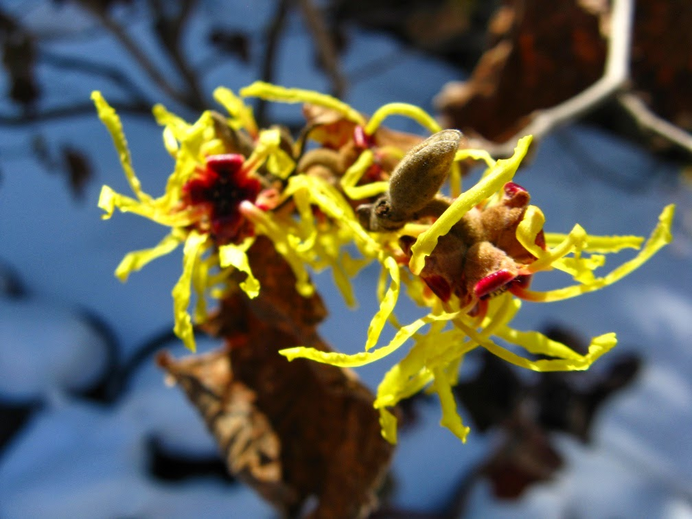 Hamamelis x intermedia Arnold Promise witchhhazel blooms by garden muses-a Toronto gardening blog