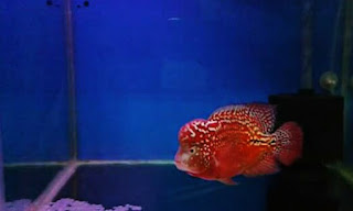 Ikan Louhan Super Red Synspillum