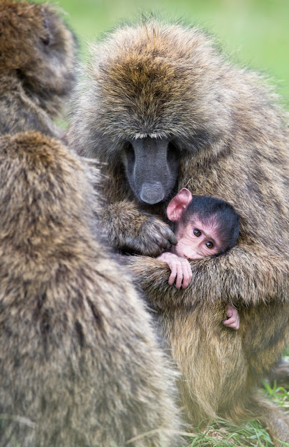 baby Monkey with mother  image