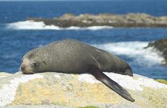 Os lobos-marinhos são mamíferos pinípedes