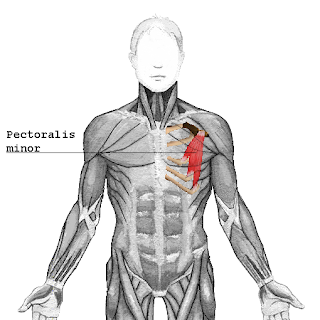pectoralis minor muscle, action, muscle picture