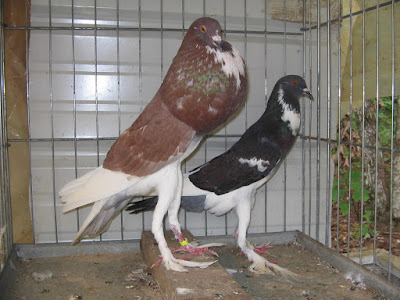 pouter and cropper pigeons - npa