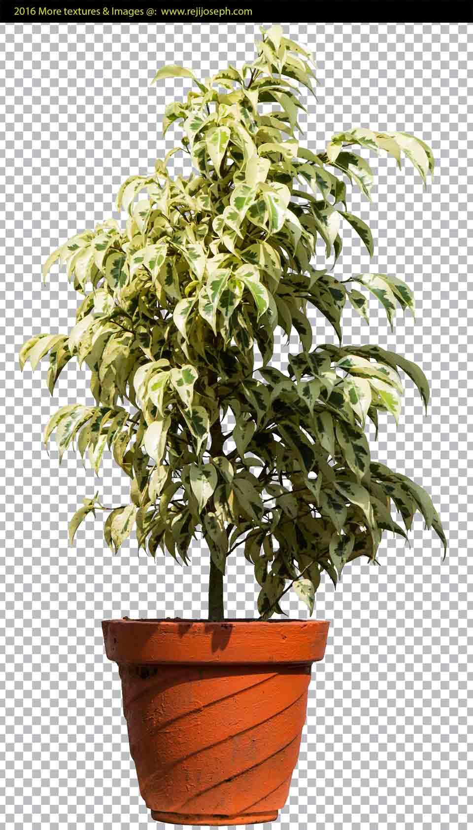 PNG Ficus Benjamina Garden Plant texture 00001