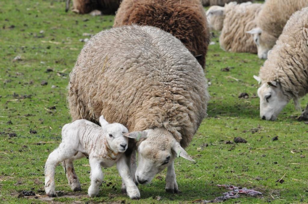 lammetjes, schapen, vakantie in texel