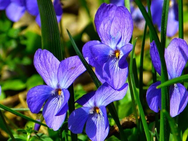 Sirop de violettes, bouquet de violettes, idées de cadeaux, langage des fleurs