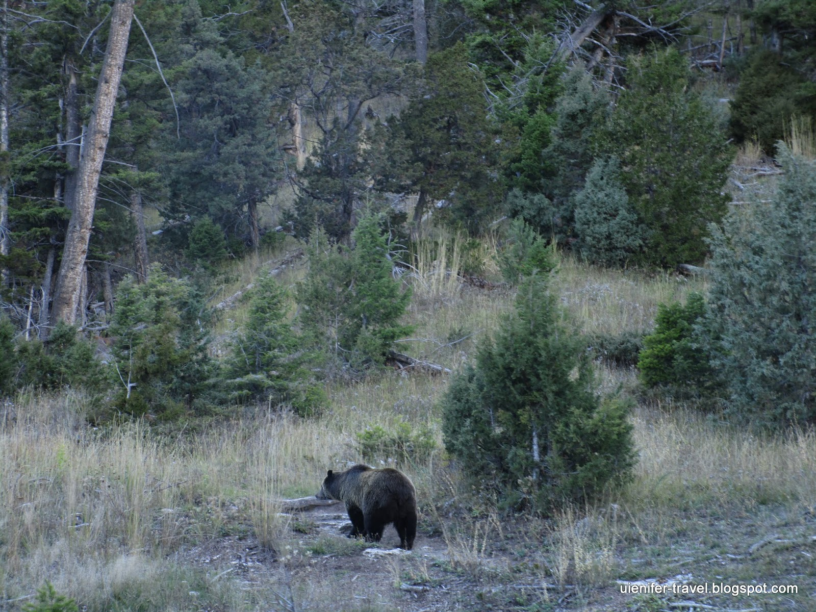 Ведмедь. Йеллоустоун, Вайоминг (Bear. Yellowstone National Park, WY)