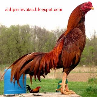 4 Ciri Ciri Penentu Jenis Ayam Bangkok Berkualitas, Membaca Ciri Ayam Bangkok Berkualitas Dari Bentuk Badan, Ciri Ayam Bangkok Aduan yang Bagus dalam Tabel dan Gambar