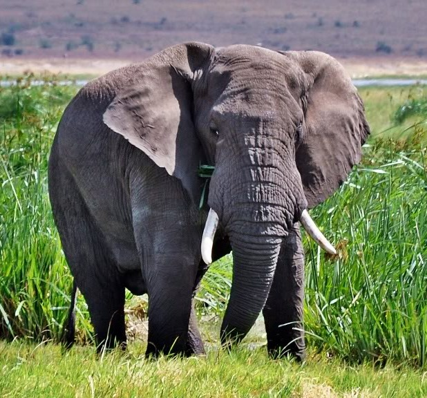 Picture of an African elephant.