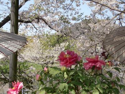 鶴岡八幡宮の春ぼたん