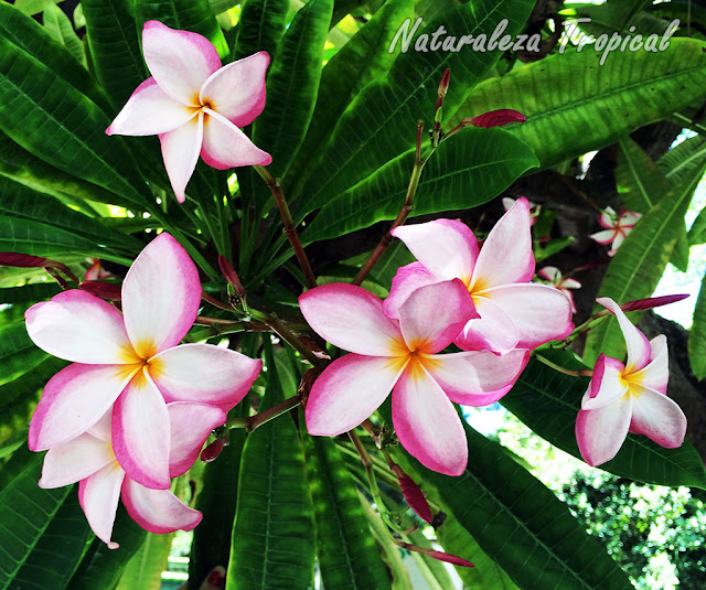 La flor de Mayo, Plumeria