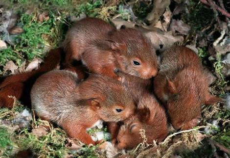 Crías de ardilla roja