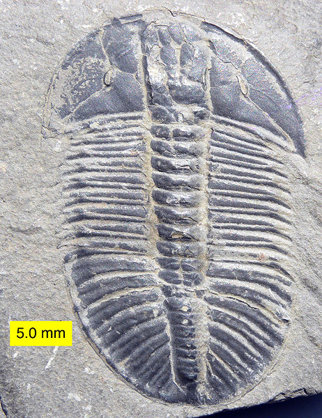 Ordovician Trilobites of the St. Petersburg Region, Russia