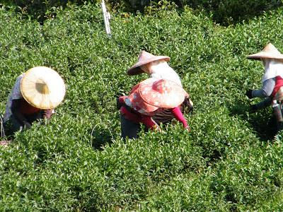 紅水烏龍茶採收