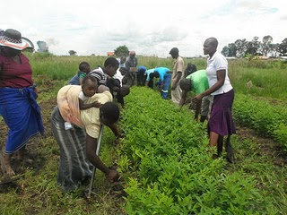 Weeding pigeon peas fields in Kenya Africa