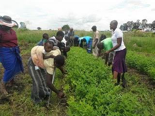Weeding pigeon peas fields in Kenya Africa