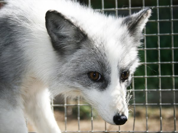 Cool Animals Pictures: Domesticated Silver Fox