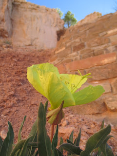 evening primrose, bryce canyon national park, utah