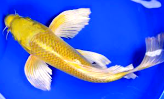 Ini adalah ikan koi jenis slayer