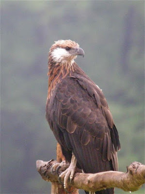 Madagascar fish Eagle