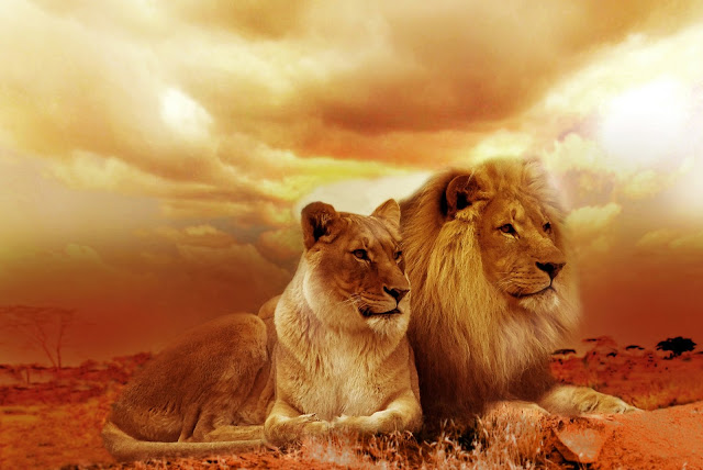 Lion and Lioness Sitting Together Under Cloudy Sky HD Wallpaper