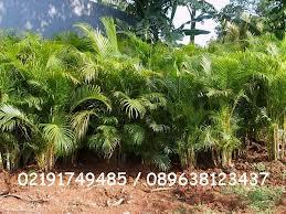 harga jual palm kuning murah