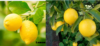 Lemon a gift of nature having lots of benefits