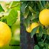 Lemon a gift of nature having lots of benefits