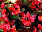 Wax Begonia Begonia Semperflorens indoor air purufier