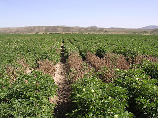 Cotton field with a large patch of dead plants